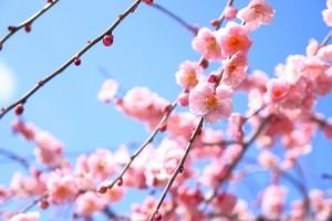 梅の花。春の花。名古屋市から日帰りで行ける三重県の人気撮影スポット。