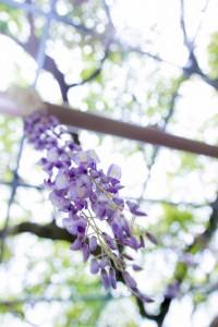 春の花は桜だけじゃない!藤の花の魅力がつまった美しい写真撮影集!
