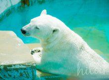 東山動植物園のシロクマ(白くま)