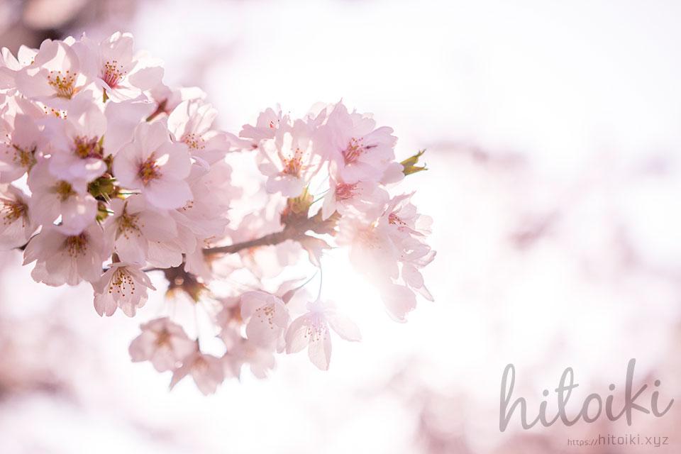 春の花の代名詞 桜の花びら(ピンク)cherryblossoms_spring_photo_01