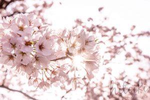春の花の代名詞 桜の花びら(ピンク)cherryblossoms_spring_photo_02